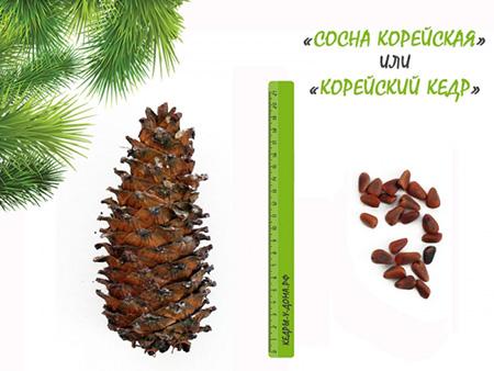 Фотография шишки и орехов Корейского кедра.