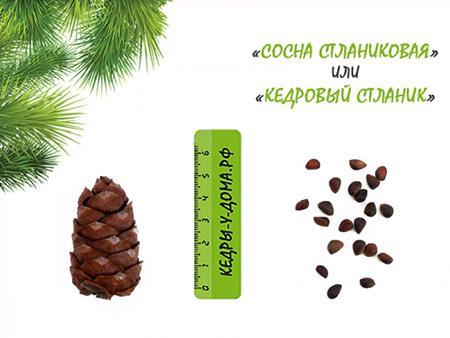Фотография шишки и орехов Кедрового стланика.