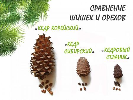 Сравнение шишки и орехов Корейского кедра, Сибирского кедра и Кедрового стланика.