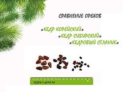 Сравнение орехов Кореского кедра, Сибирского кедра и Кедрового стланика.