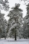 Хвойные растения в городском округе Истра (фотографии Игоря Новикова)