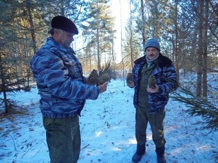 Корейский кедр плодоносит в лесах Подмосковья!